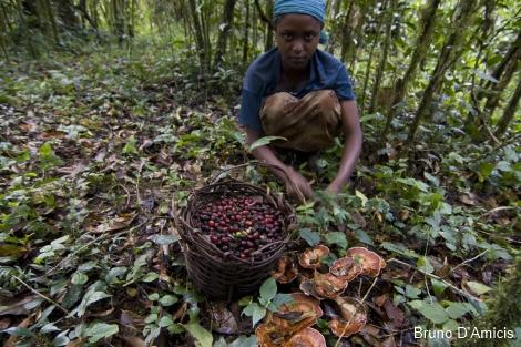 divja kava u etiopiji